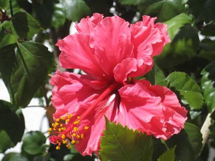 ruffled-petaled pink hibiscus flower
